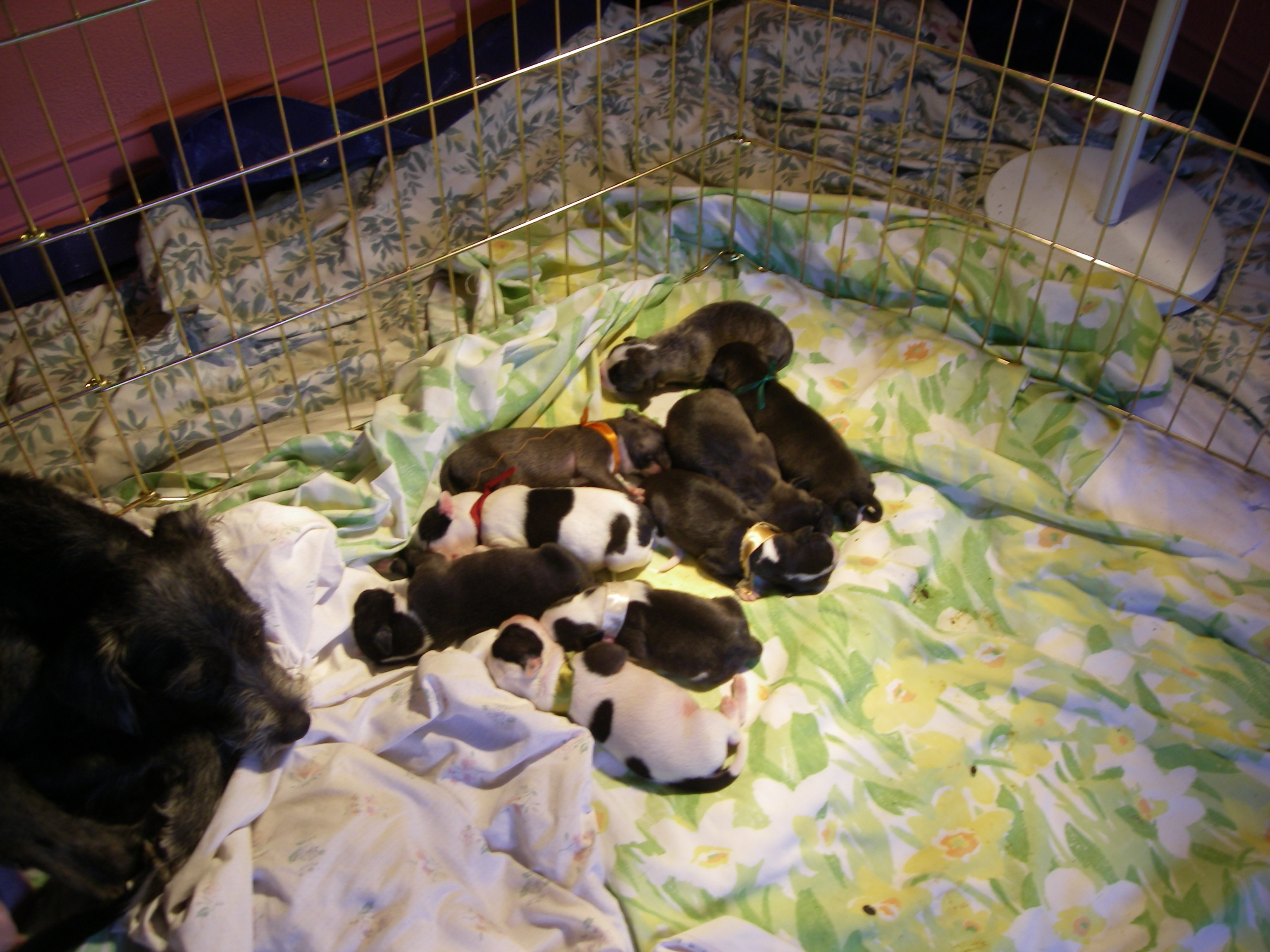 Issaquah s PUP Dog Rescue works with CA Shelter to save pregnant